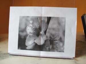 fotocopia fiori ciliegio