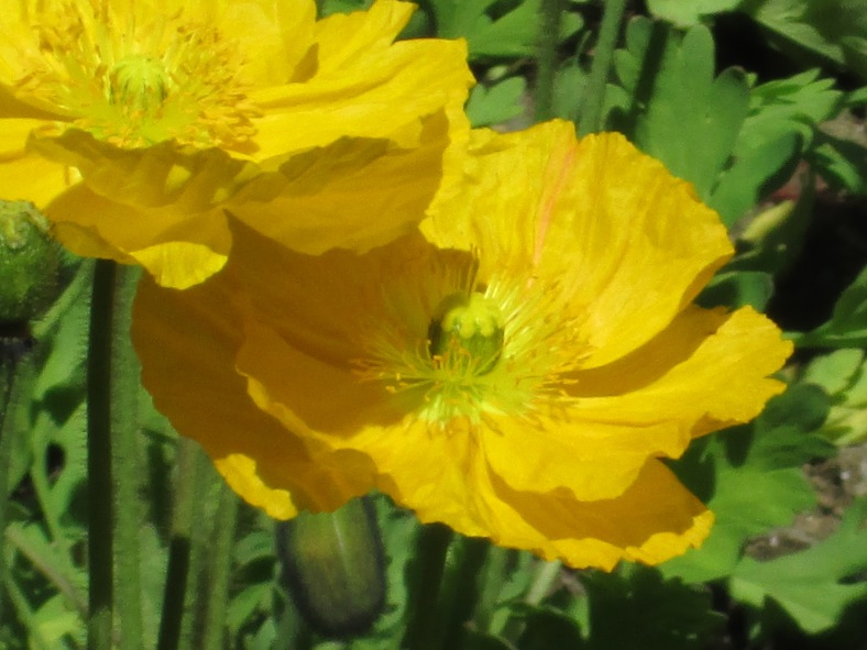 papaveri gialli