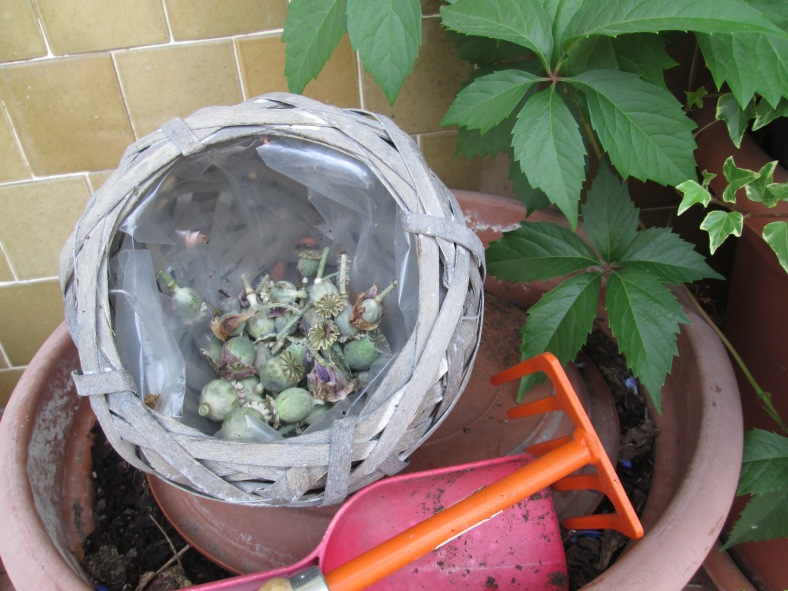 raccolta semi papavero rosa
